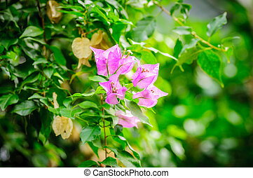 Pink Bougainvillea flowers on green leaves background
