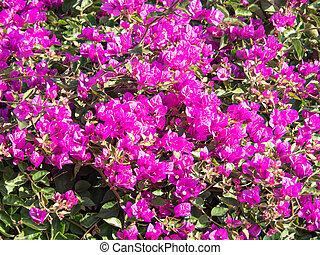 Pink bougainvillea in a garden