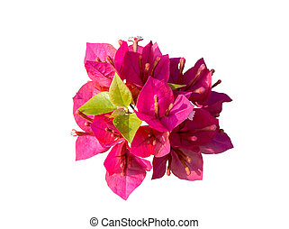 Pink Bougainvillea (Paper flower) isolated with clipping path