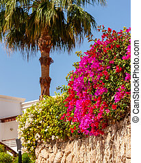pink bougainvillea, Sharm el Sheikh, Egypt. - Beauty pink...