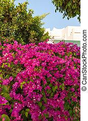 pink bougainvillea, Sharm el Sheikh, Egypt. - Beauty pink...