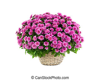 pink bouquet of chrysanthemums on a white background