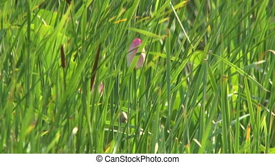 Pink Bud in the grass