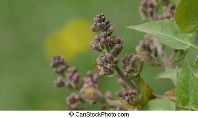pink buds of lilac close-up