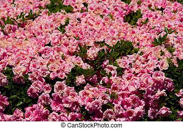 Pink Bush Roses in Sunshine