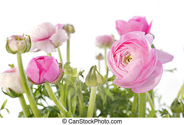 pink buttercups in front of white background