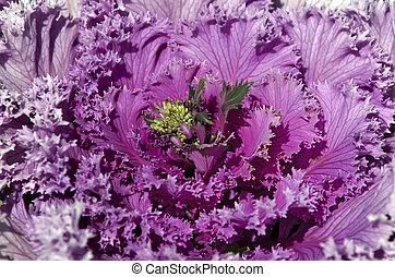 Pink Cabbage