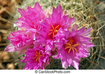 Pink Cactus Flowers Blossoms Sonoran Desert Botanical Garden Papago Park Phoenix Arizona