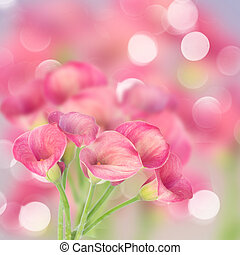 Calla lilly - Pink Calla lilly flowers on defocused bokeh...