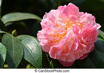 Pink camelia flower