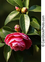Pink Camellia - a pink camellia blooming. taken by a ...