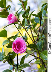 Pink camellia flowers growing in the home garden