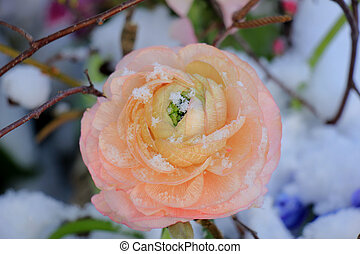Pink camellia in the snow