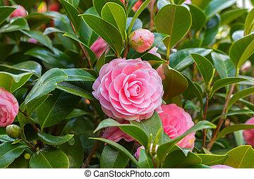 Pink Camellia sasanqua flower