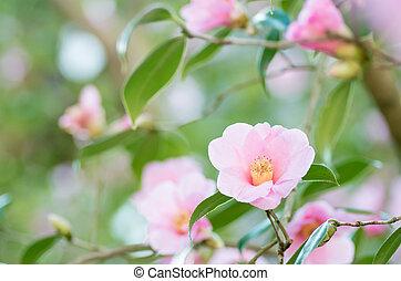pink camellia - this photo is taken in Nagoya