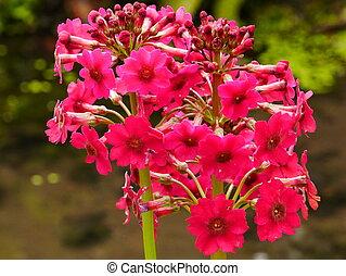 Pink Candelabra Primula Flower