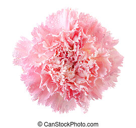 Pink carnation flower head isolated on white
