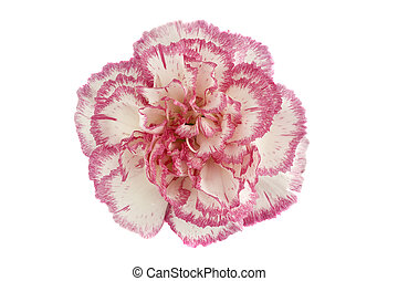 Close-up of a pink and white carnation flower head on white background.