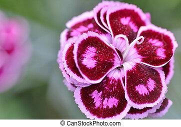 Pink carnation flower in garden