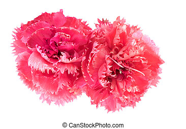 pink carnation flowers Dianthus caryophyllus January flower