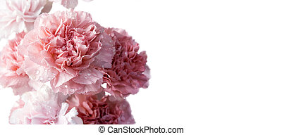 Pink carnation flowers isolated on white background with copy space