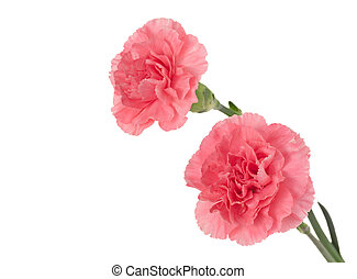 Pink Carnation - Two pink carnations isolated on a white...