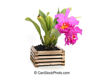 Pink cattleya orchid isolate on white