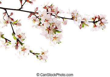 Pink cherry blossom - Branch with pink cherry blossoms ...