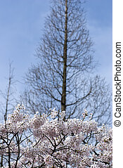 Pink Cherry Blossom In Spring Gard