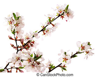 Pink cherry blossom - Branches with pink cherry blossoms...