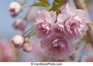 Pink cherry blossom tree in spring