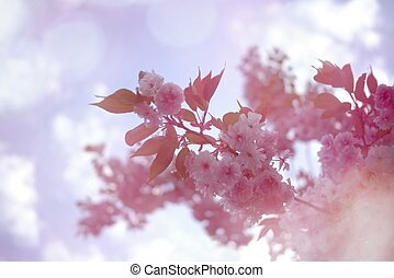 Pink cherry blossom with bokeh background.