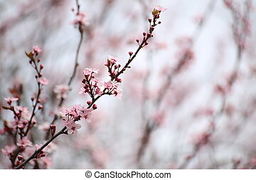 Pink cherry blossoms with a blurred background