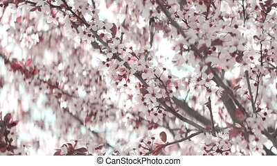 Pink cherry flowers blooming in springtime