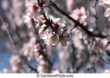 Pink cherry flowers blooming in springtime.