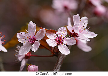 Pink cherry flowers in spring