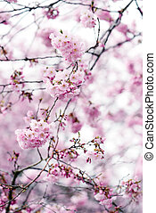 pink cherry tree blossom in springtime