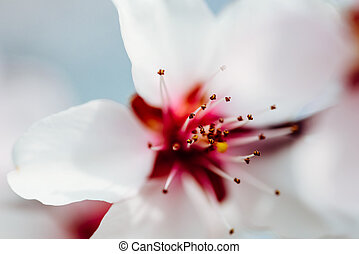 Pink Cherry Tree Flowers Blossom Close Up In Spring
