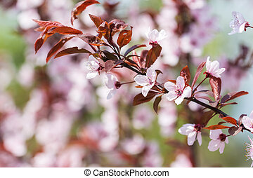 Pink Cherry Tree Flowers Blossom