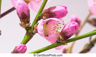 Pink Cherry Tree Flowers Blossoms. - Pink Flowers Blossoms...