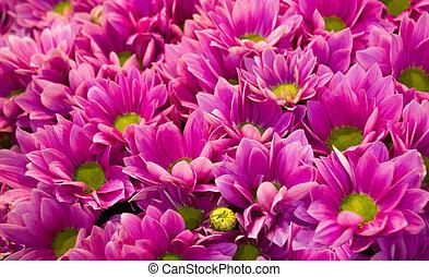pink chrysanthemum flower background