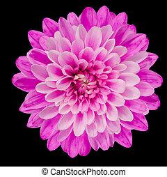 Pink Chrysanthemum Flower Isolated on Black