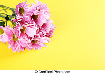 Pink chrysanthemum flowers on a yellow background