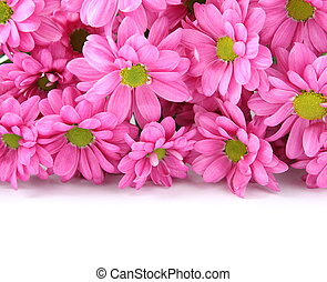 Pink chrysanthemums over white with sample text