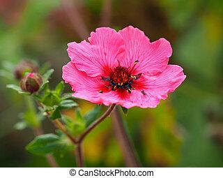 Pink cinquefoil flower, Potentilla nepalensis Miss Willmott