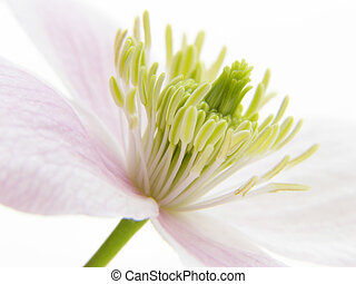pink clematis - Close-up of fragile soft pink clematis...