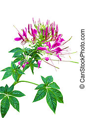 Pink Cleome flower isolated