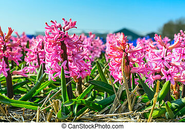 Pink close-up Hyacinth, field in Holland, blue sky