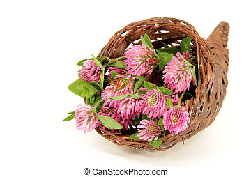 pink clover blooms