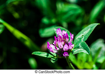 Pink clover flower blossomed in the meadow